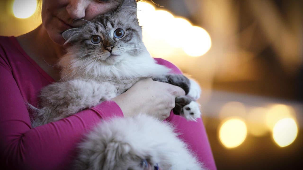 Кошки привязываются к владельцам не меньше, чем собаки