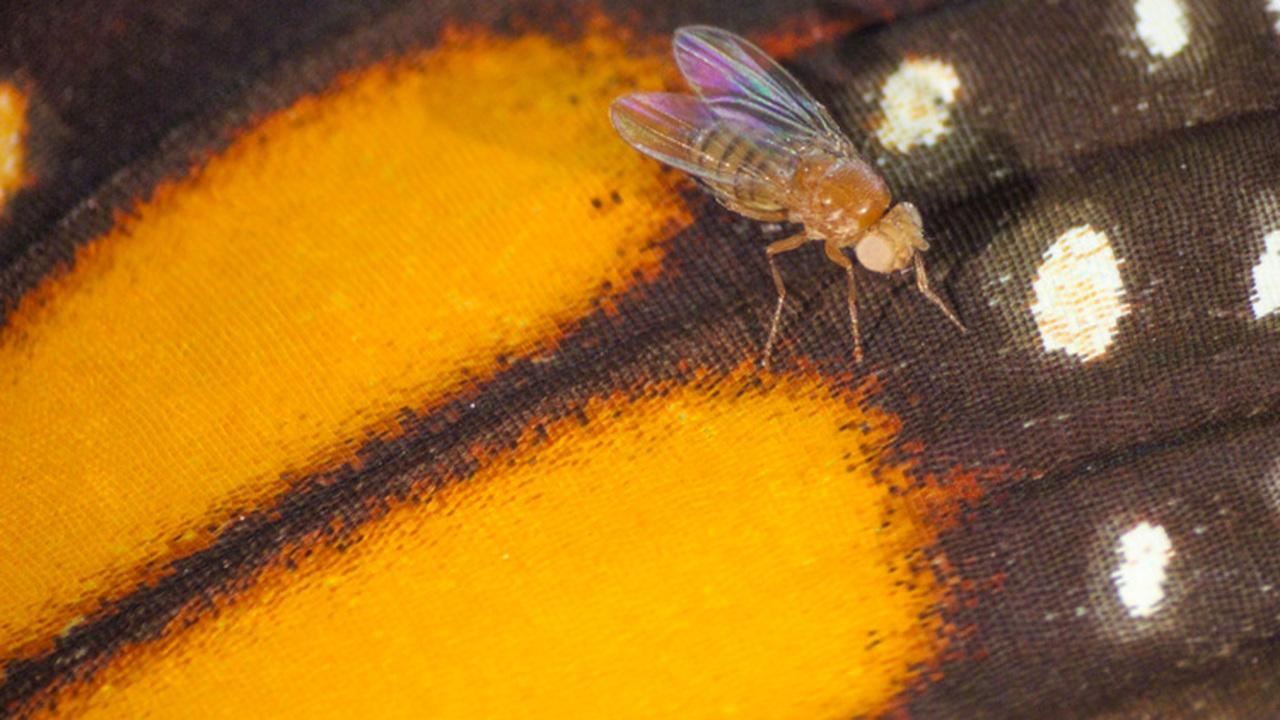 Благодаря CRISPR плодовые мухи смогли питаться ядом
