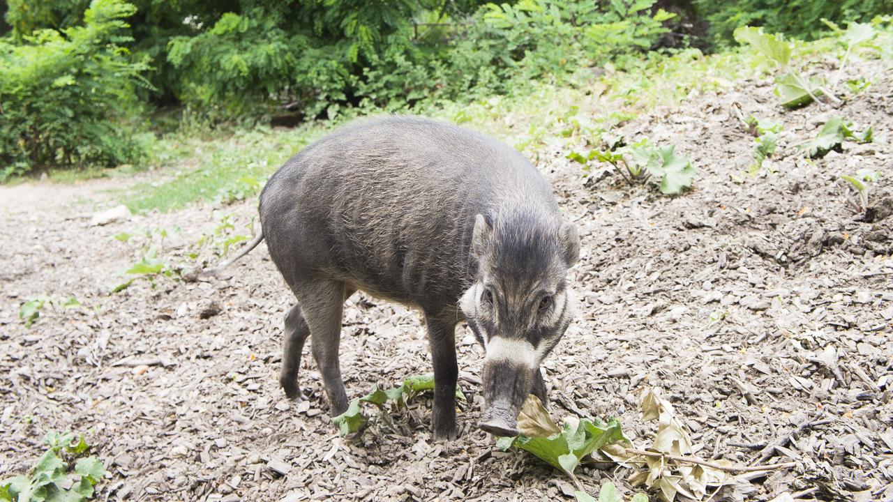 Первое наблюдение: свиньи выкапывают ямы при помощи инструментов