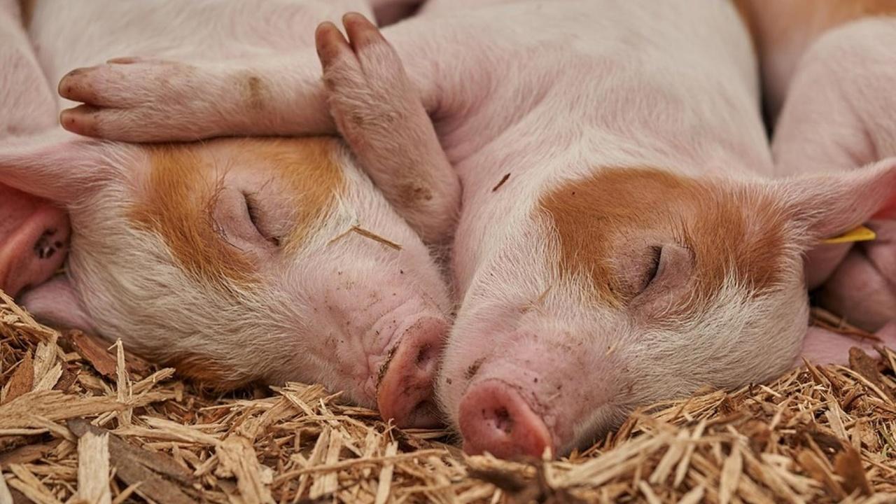 Свиную кожу впервые использовали для лечения ожогов у человека