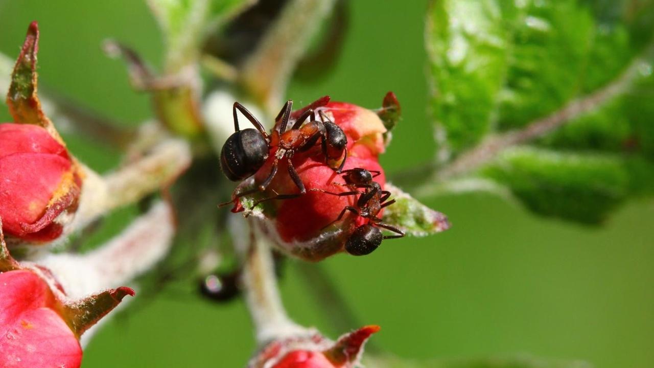 Растения можно защитить от болезней при помощи муравьёв