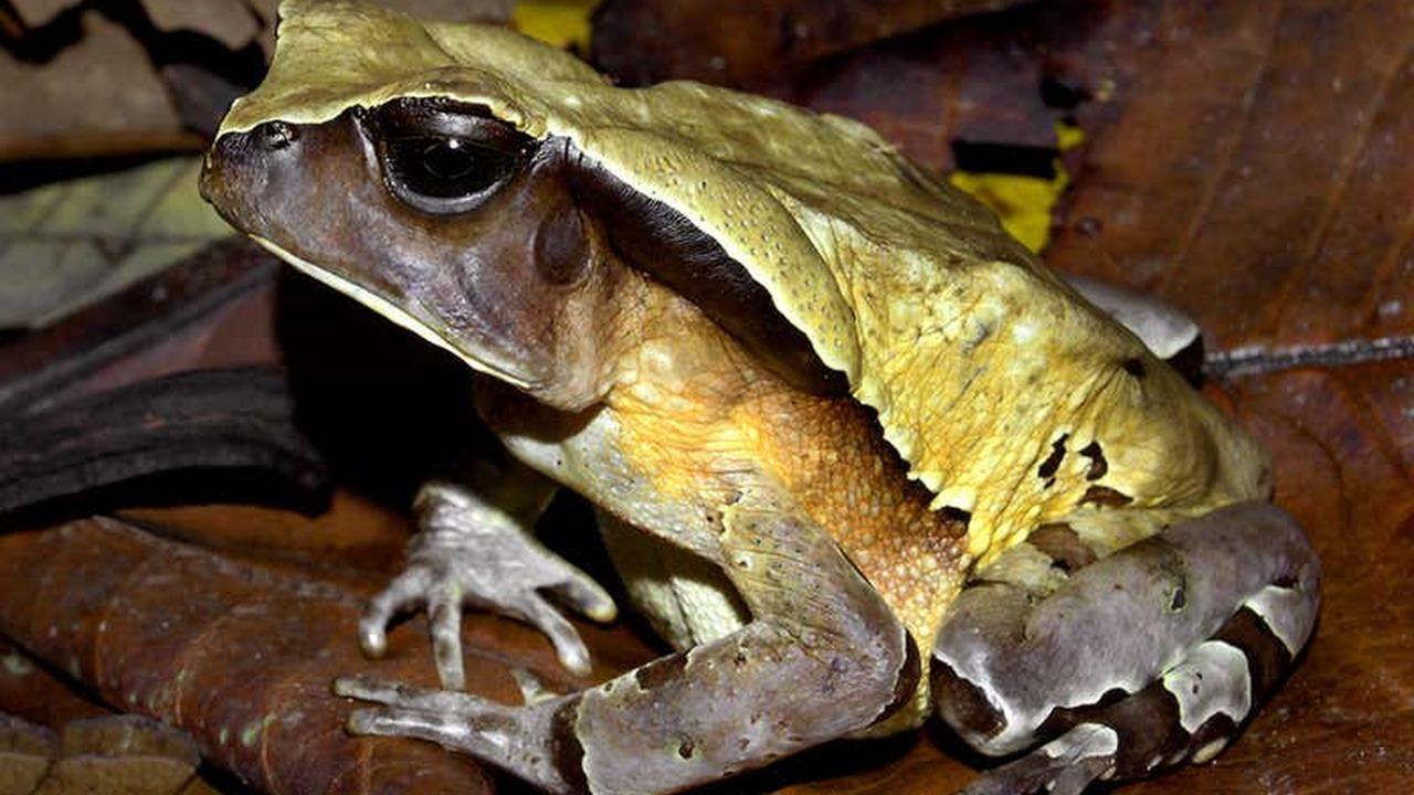 Жаба притворяется опасной змеёй, чтобы отпугнуть хищников