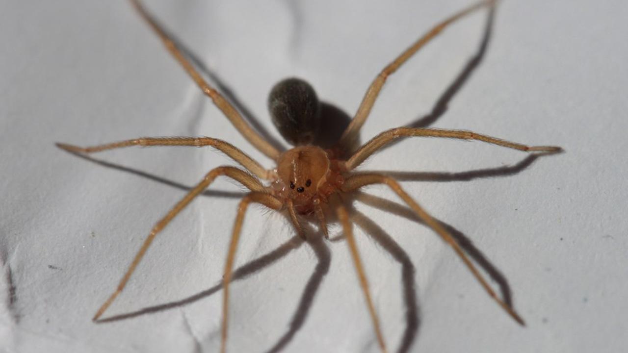 Некроз кожи от простого укуса: обнаружен новый паук с опасным ядом
