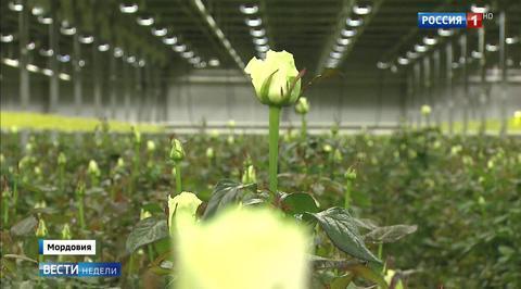 Мордовия выращивает розы и готовится к ЧМ по футболу