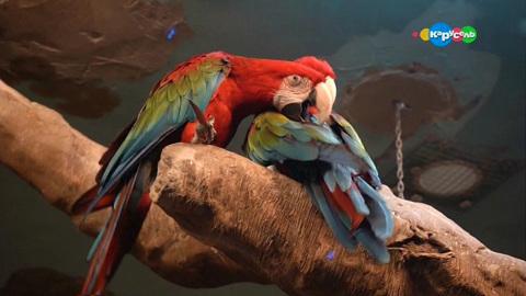 В мире животных. Красный ара