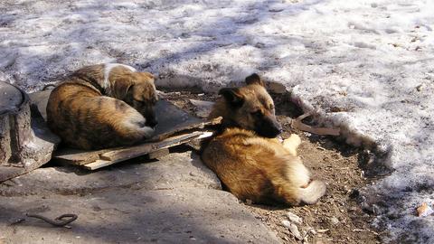 Вести. Бездомные собаки покусали жительницу Саратова