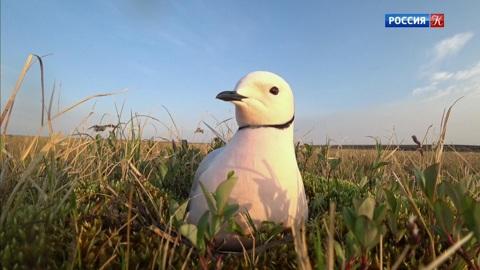 Страна птиц. Розовая чайка