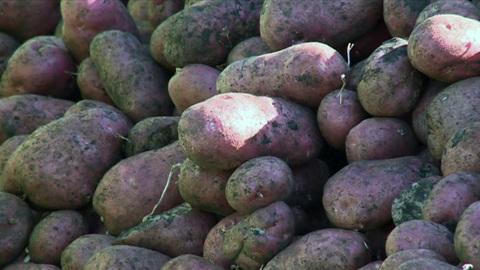 """Новости на """"России 24"""". Картофель калибруют под низкие цены"""