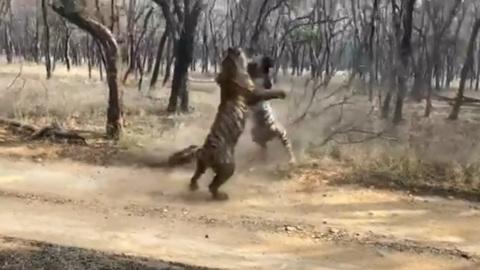 ЧП. Схватка тигров в индийском национальном парке попала на видео