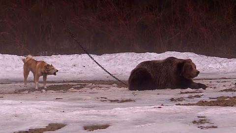 Судьба медведицы Маши на притравочной станции рассорила охотников и зоозащитников