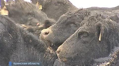 Брянщина накормит мясом всю Россию
