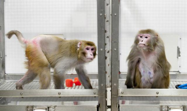 Макаки-резусы в Национальном центре изучения приматов в Висконсине: 27-летний Канто, живущий на ограниченной диете, и 29-летний Оуэн, чьё питание не ограничивалось