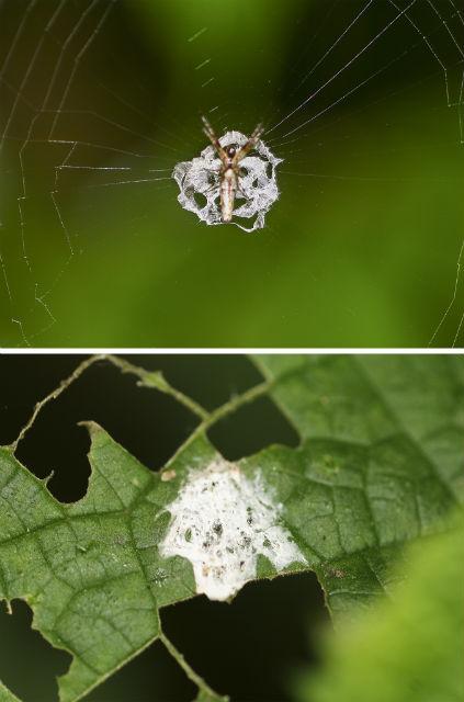 Сверху ≈ паук со своей паутиной, снизу ≈ птичий помёт