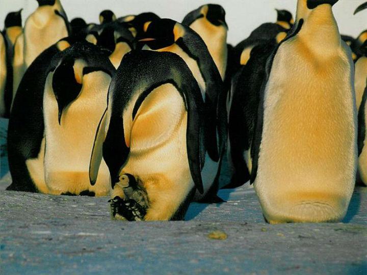 Переизбыток льда заставляет птиц перемещаться на большие расстояния в поисках пищи для своих детенышей