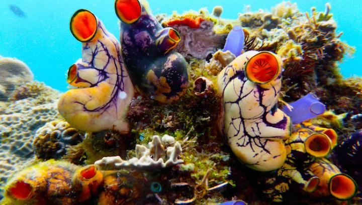Данные оболочники больше похожи на часть художественного проекта, изображающего человеческие сердца, нежели на обитателей океанических глубин
