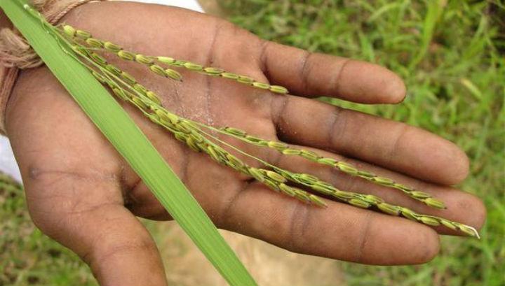 Генетическая модификация позволит получать рис с прекрасными вкусовыми качествами и высокой урожайностью