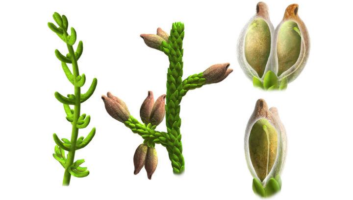 Реконструкция стебля, листьев и семени растения, основанная на анализе окаменелых образцов