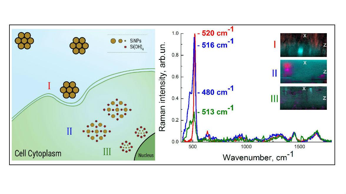 Изображение разложения кремниевых наночастиц: (I) локализация наночастиц на мембране клетки; (II), проникновение наночастиц в цитоплазму клетки, сопровождающееся частичной биодеградацией наночастиц; (III) полное растворение.