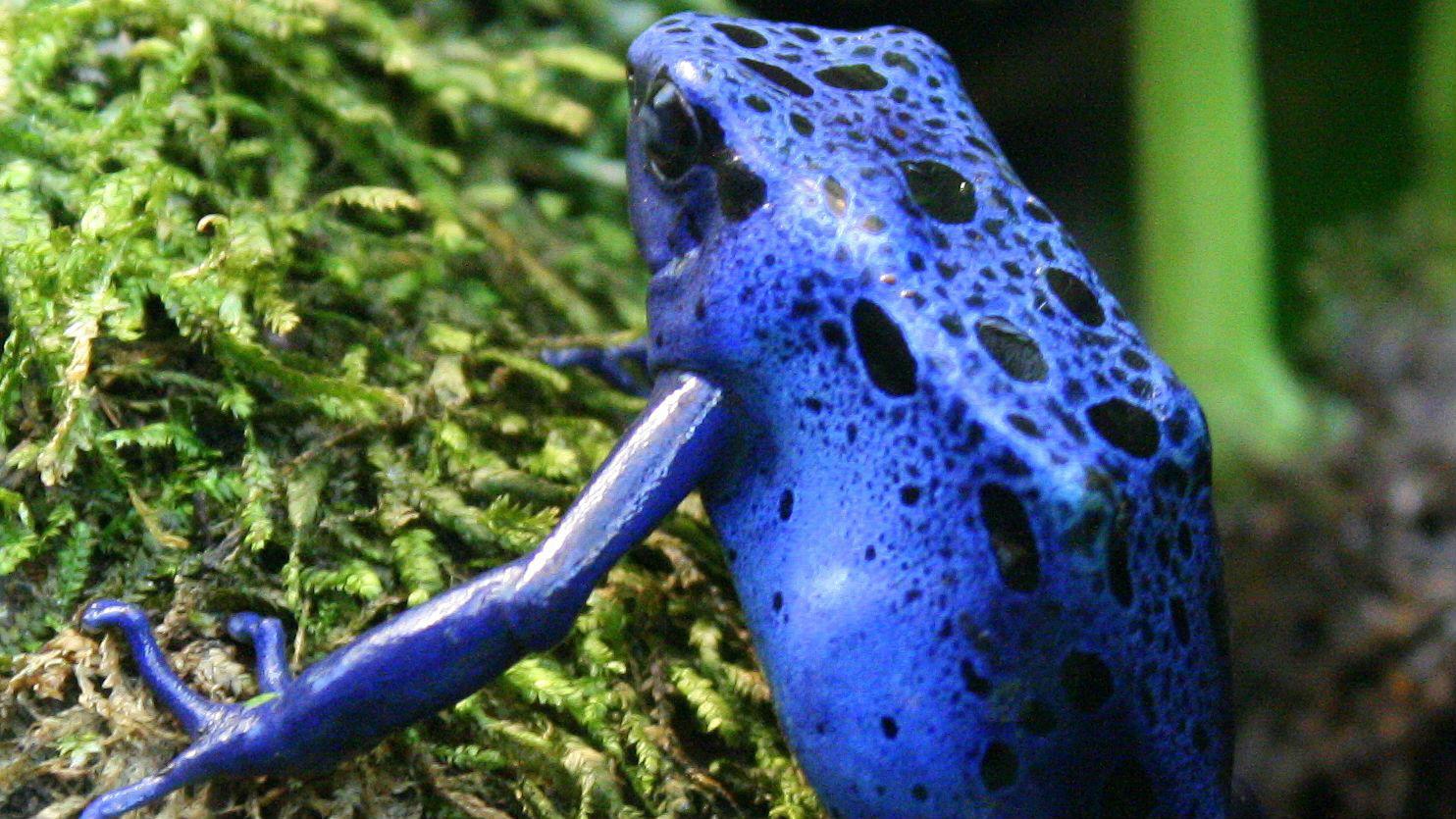 Лягушки пережили массовое вымирание 66 миллионов лет назад, после которого успешно освоили освободившиеся экологические ниши.