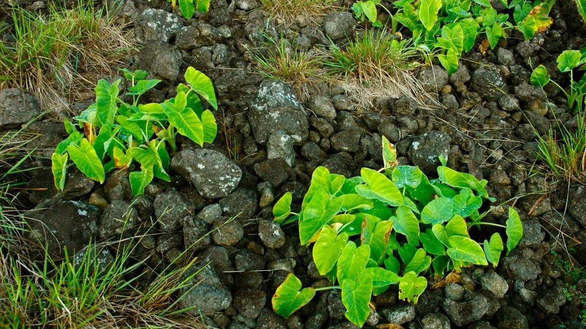 """Таро, или колоказия съедобная, является основным продуктом питания выходцев из Полинезийских островов. На снимке – """"сад"""" таро, растущий на мульчированной камнями почве."""