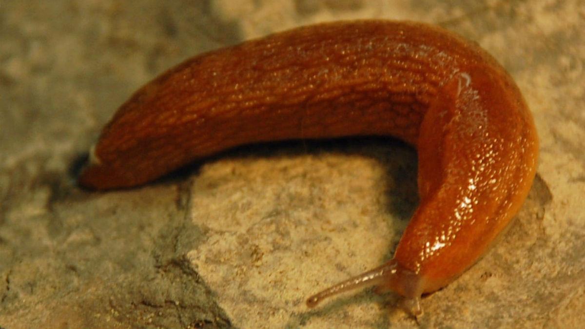 """""""Виновником"""" их открытия стал большой слизень вида A. subfuscus, обитающий в Северной Америке и Западной Европе"""