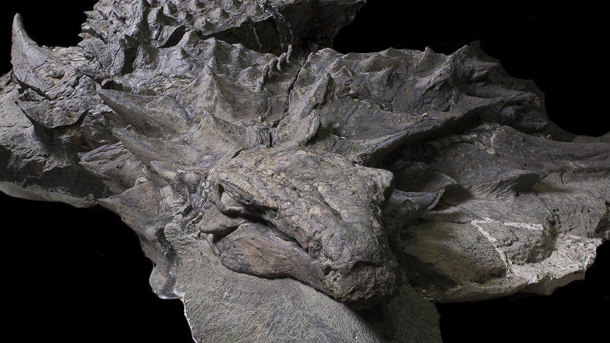 Ископаемые останки представителя рода Borealopelta были случайно обнаружены в шахте провинции Альберта (Канада).