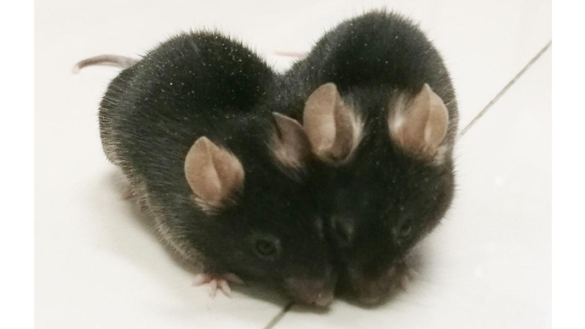 """Учёные хирургическим путём """"срастили"""" двух мышей таким образом, чтобы у """"двойного"""" организма сформировалась единая система кровоснабжения."""