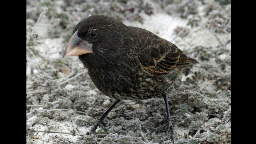"""Основателем новой линии """"больших птиц"""" стал самец кактусового вьюрка с острова Эспаньола."""