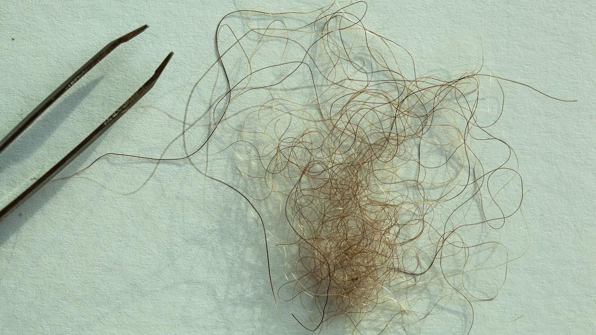 Образец волос йети, найденный в Непале. На самом деле волосы принадлежат тибетскому бурому медведю.