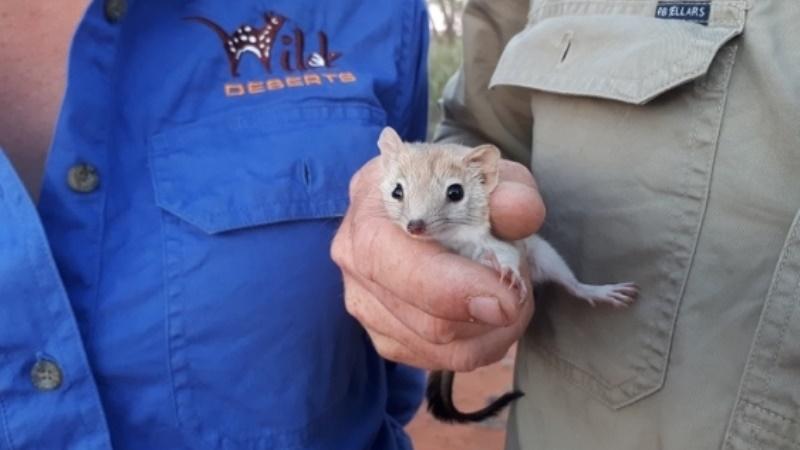 Мульгары ранее были широко распространены в пустынных регионах Австралии.
