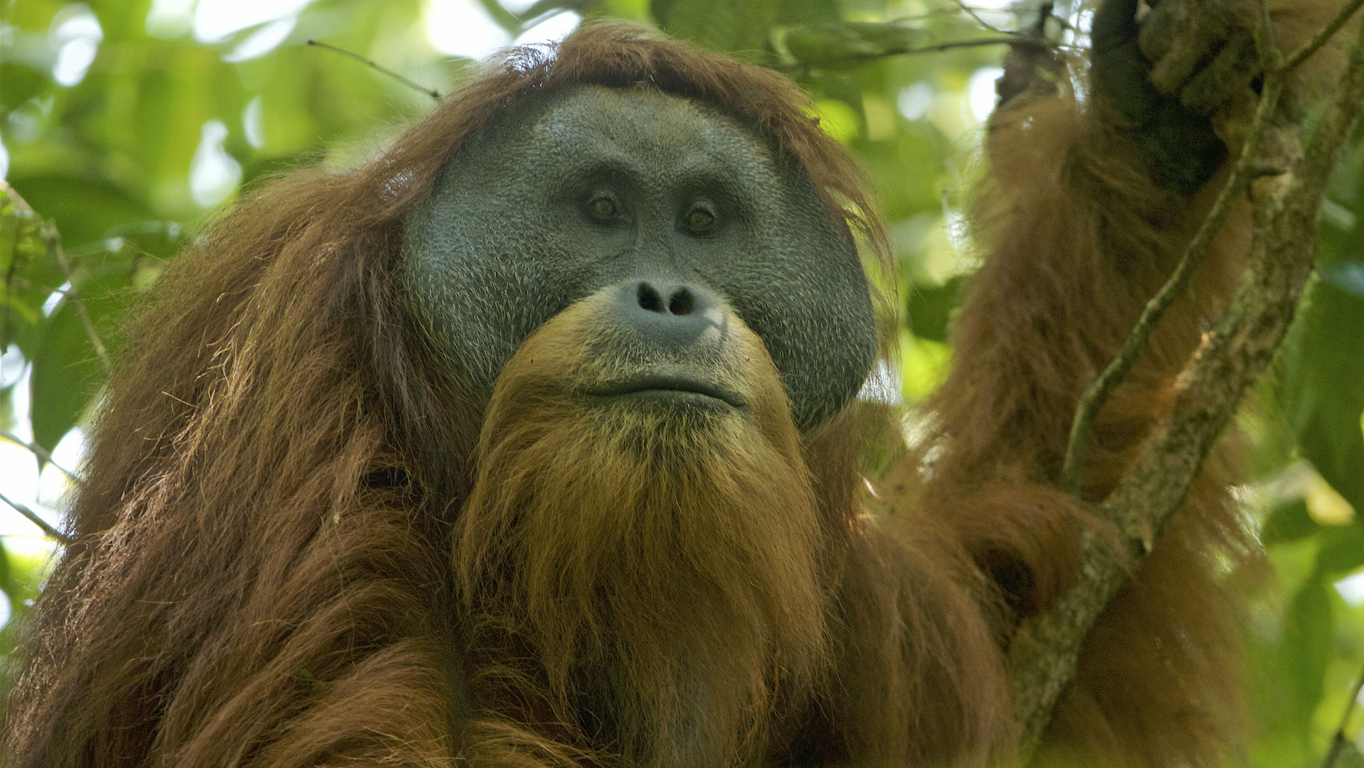 Самец тапанульского орангутана.