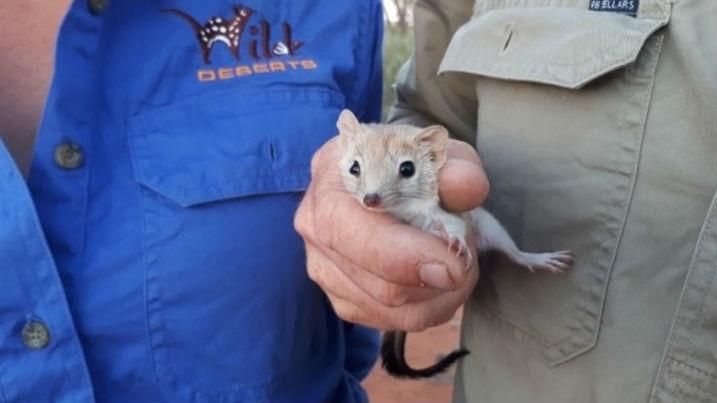 Грызуна обнаружили сотрудники Национального парка Стюрт во время недавнего научного мониторинга.