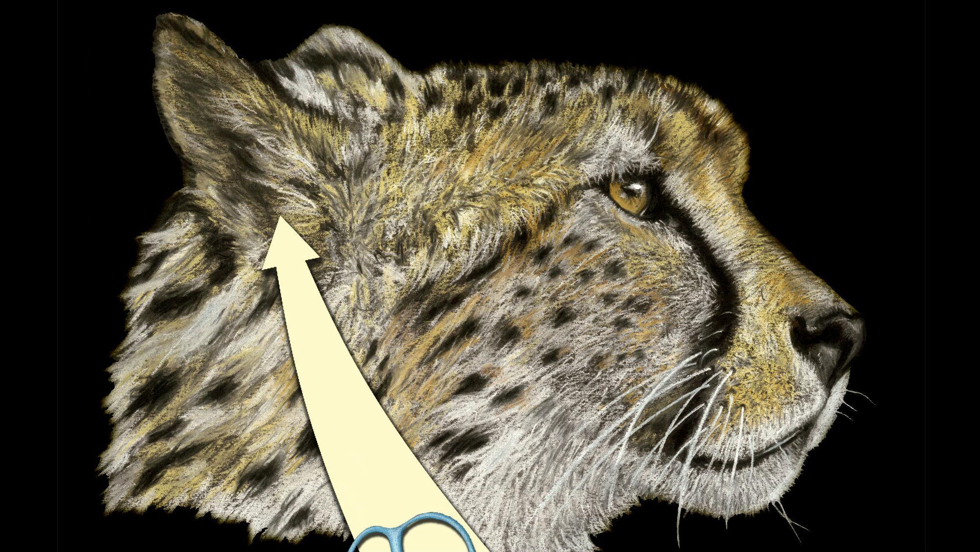 Анализ внутреннего уха современных и вымерших гепардов показал, что уникальное приспособление для удачной высокоскоростной охоты появилось у этих хищников относительно недавно.