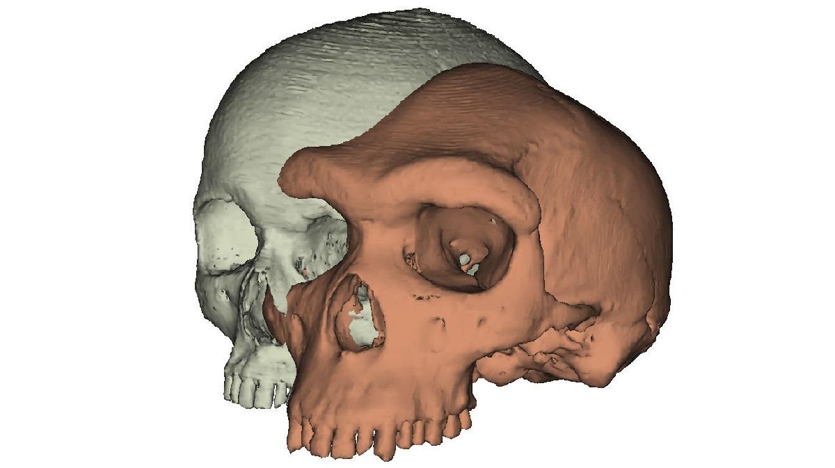 Команда воссоздала трёхмерную модель черепа гейдельбергского человека и проверила несколько теорий об изменении формы бровей гоминин.