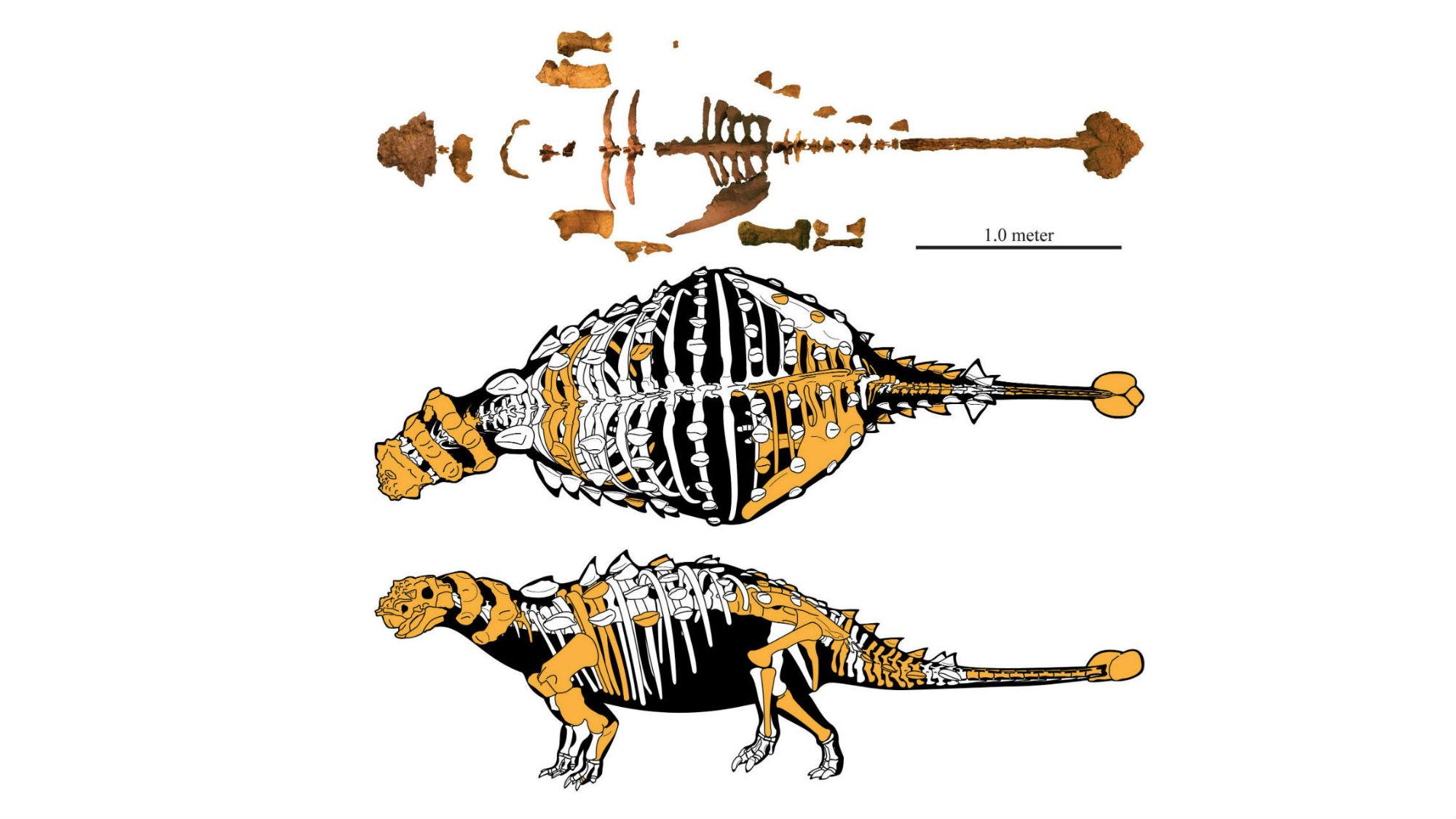 """Скелет недавно обнаруженного """"бронированного"""" динозавра."""