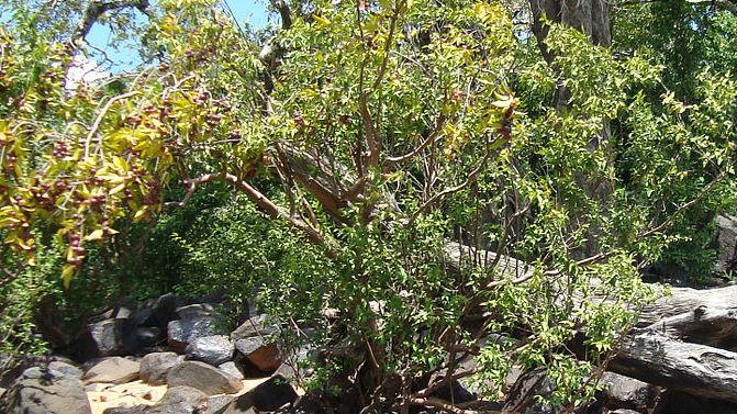Каму-каму, или мирциария сомнительная. Дерево растёт в тропических лесах Амазонской низменности