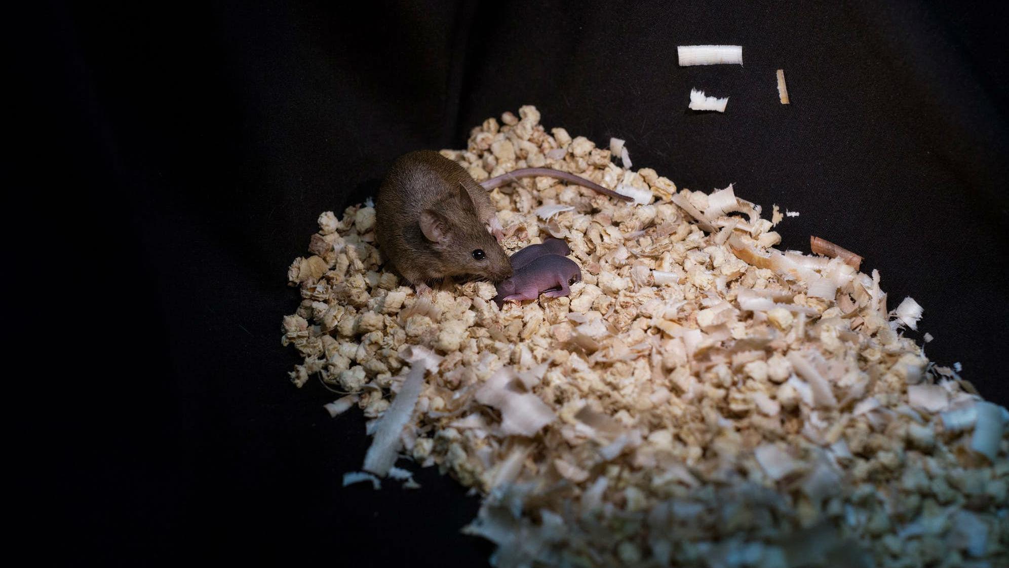 Исследователи вырастили мышей, удалив некоторые импринтинговые гены из гаплоидных эмбриональных стволовых клеток одной самки, а затем имплантировали их в яйцеклетку другой.