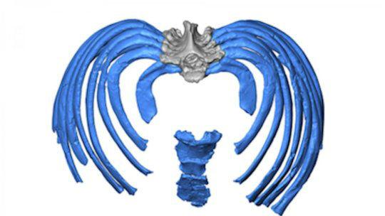 Специалисты предполагали, что грудная клетка неандертальцев была больше нашей.
