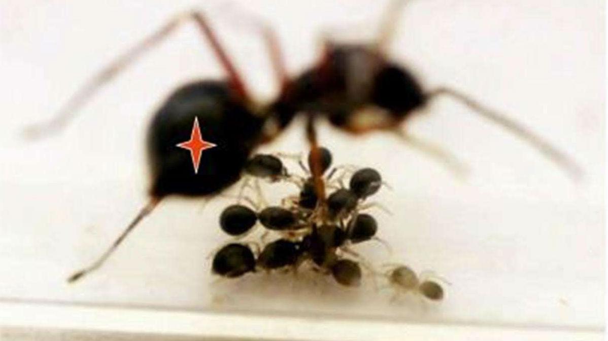 Герои недавнего исследования √ самки T. magnus откладывают от двух до 36 яиц за раз.