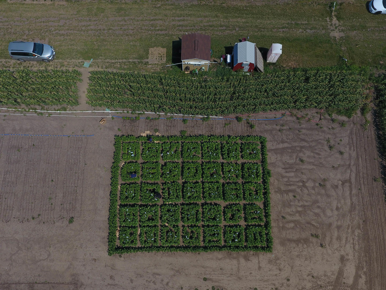 Вид сверху на поле 2017 года, где учёные изучали, насколько хорошо изменённые растения ускоряют процесс фотодыхания в сравнении с немодифицированными растениями.