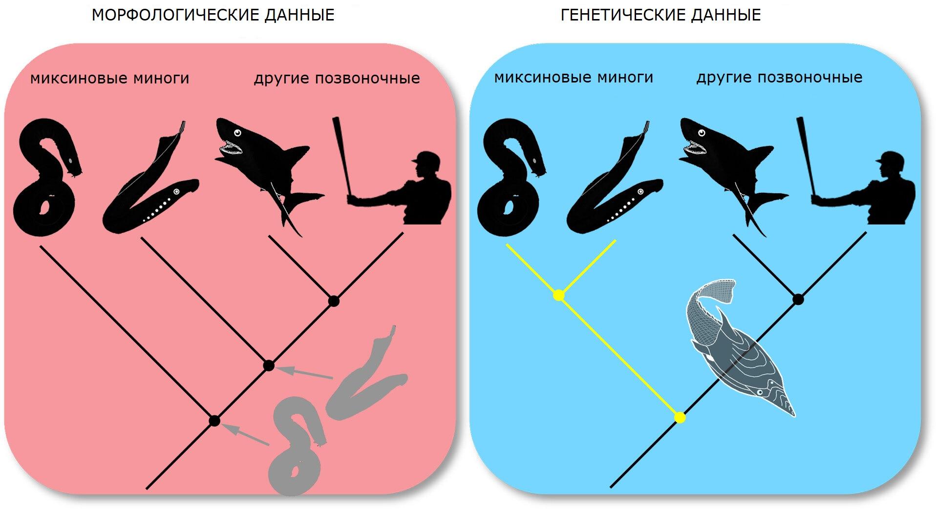 Две конкурирующие концепции эволюционного древа позвоночных.