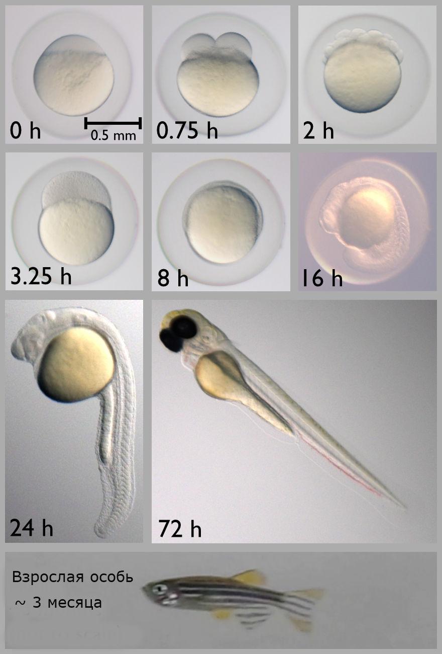 Прозрачные эмбрионы делают данио-рерио отличным модельным организмом.