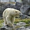 Белые медведи: мифы и факты