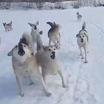 Красноярск: найдено второе за последние дни тело со следами укусов собак
