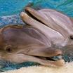 О чём говорят дельфины