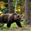 Диким медведям раздают конфеты