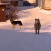 В Улан-Удэ временно отменят закон о гуманном отношении к животным