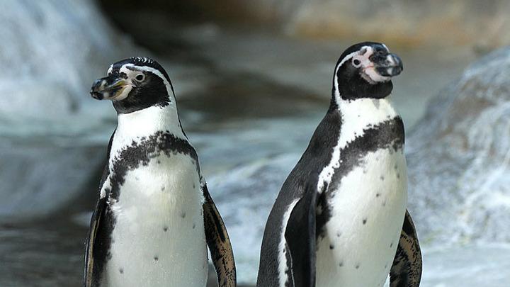 Доисторический пингвин из новейшей Зеландии был ростом счеловека