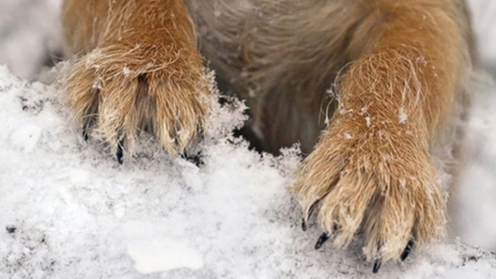 Лапы собаки зимой и проблема реагентов.