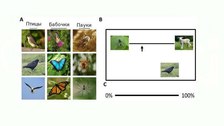 Участницы исследования, которые боятся пауков, посчитали, что пауки гораздо громаднее бабочек